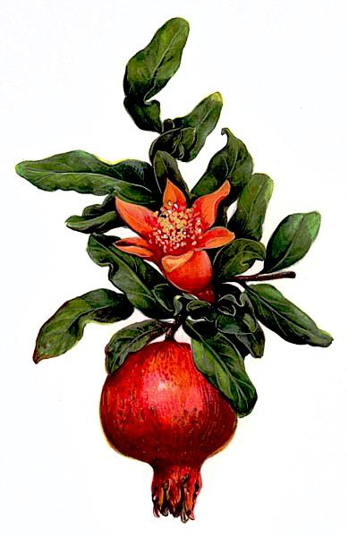 http://www.moldrek.com/Immagini/melograno_fiore.jpg